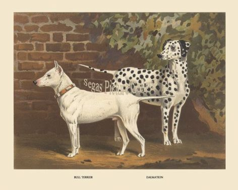 Dog Print of the Bull Terrier Dalmation by Vero Shaw